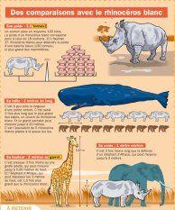 Des comparaisons avec le rhinocéros blanc - Mon Quotidien, le seul site d'information quotidienne pour les 10 - 14 ans !