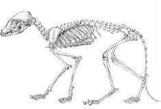 fox skeleton diagram - Google Search