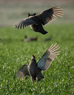 Greater Prairie Chickens:  Witness their annual spring mating display.