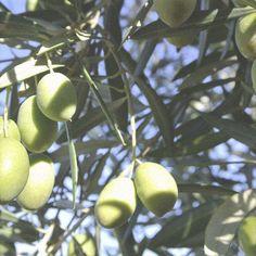 Webshop - Olive Oil Copenhagen   Webshop – vi sælger premium kvalitet øko. ekstra jomfru olivenolie Olive Oil, Fruit, Pictures, Olives, Photos, Grimm