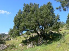Juniperus communis growing on spanish hillside