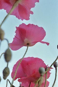 pink poppy flowers.jpg