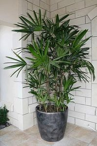 How to Care for an Indoor Palm Tree thumbnail