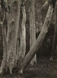 ANSEL ADAMS American, 1903 - 1984 Cottonwood Trunks, Yosemite Valley, California 1932 Gelatin silver print Image/Sheet: 8 13/16 x 6 1/4 inches The Museum of Fine Arts, Houston