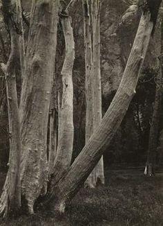 ANSEL ADAMS American, 1903 - 1984 Cottonwood Trunks, Yosemite Valley, California 1932 Gelatin silver print Image/Sheet: 8 13/16 x 6 1/4 inches The Museum of Fine Arts, Houston