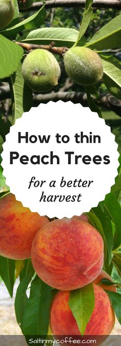 How to Thin Peaches for Better Harvests & Healthier Trees Thinning peach trees gives more beautiful and abundant harvests, and safeguards the health of your fruit tree. Here's how to thin your peach trees, and why you should! Indoor Vegetable Gardening, Organic Gardening Tips, Container Gardening, Urban Gardening, Texas Gardening, Gardening Books, Hydroponic Growing, Hydroponic Gardening, Fruit Garden
