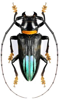 Sternotomis pupieri Weird Insects, Types Of Insects, Bugs And Insects, Beetle Insect, Beetle Bug, Insect Art, Longhorn Beetle, Mantis Religiosa, Nature Artists