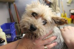 RESCUED>NAME:Baylie (Bonded with Lily) ANIMAL ID: 28529989 BREED: Maltese Yorkie SEX:Female-spayed EST. AGE: 6yr Est Weight: 7.2 lbs Health: Possible H.G.E.: Parvo neg, fecal neg, direct neg. 1st PVC 70, 2nd PVC 65. Needs major dental Temperament:Dog friendly, people friendly ADDITIONAL INFO: owner surrender RESCUE PULL FEE:$29 Intake date:7/14 Available: now