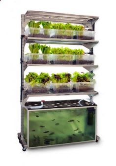 Aquaponics - in-home aquaponics unit grows one meal a day: a portion of fish and a side salad. // Very cool setup with DIY plans . - Break-Through Organic Gardening Secret Grows You Up To 10 Times The Plants, In Half The Time, With Healthier Plants, While the Fish Do All the Work... And Yet... Your Plants Grow Abundantly, Taste Amazing, and Are Extremely Healthy #AquaponicsandHydroponics