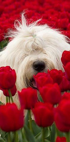 Peeking ~ through the Tulips