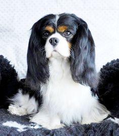 Gorgeous Black Tri Cavalier