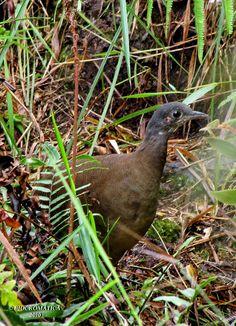 Nothocercus nigrocapillus / Hooded tinamou / Zwartkap tinamoe