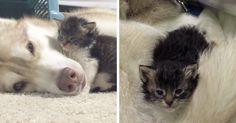Kitten Has A Husky Mama | Bored Panda