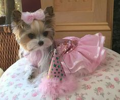 Allie owned by Janet Fazio Cute Baby Animals, Animals And Pets, Cute Small Dogs, Yorkshire Terrier Puppies, Yorkie Puppy, Homemade Dog Treats, Yorkies, Cute Babies, Costume