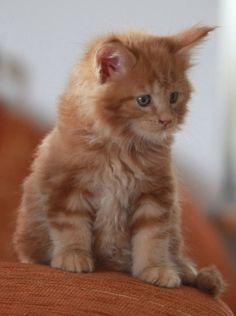 Shsved kočička