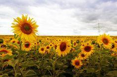 'Sonnenblumen' in Grossansicht