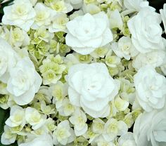 This is a reblooming hydrangea called Wedding Gown.