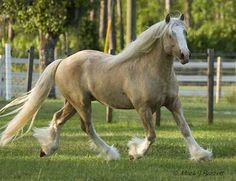 Palomino Clydesdale Mare Photo by Midcrystal | Photobucket