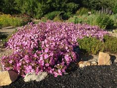Giant Flowered Soapwort, Saponaria x lempergii, contains fire-resistant soap.