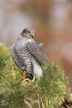 Photograph Accipiter nisus - Sparrowhawk by Tomáš Hilger on 500px