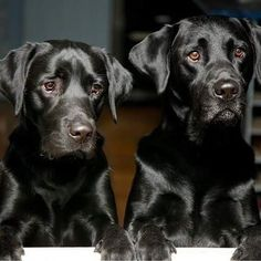 such a great picture of black labs... it's normally so hard to catch them in the right light.. Black Labs, Black Labrador, Golden Labrador, Black Lab Puppies, Dogs And Puppies, Doggies, Beautiful Dogs, Animals Beautiful, I Love Dogs