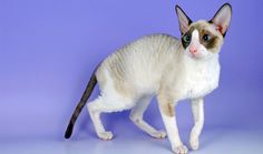My dream kitty - The Cornish Rex! This is the exact color I hope to have too!!! ♡♡♡
