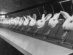 This is a picture of an Animal Testing Facility.The reason they use rabbits for animal testing is because they are the only animal who can not flush chemicals out of their eyes without using aids like water or their paws.Next time you buy cosmetics or hair spray or anything in the beauty section - choose the brands that are NOT tested on animals.Don't be fooled by the fact that this looks like an old photo, this still happens EVERY DAY.Here's a hint: Loreal are the worlds big