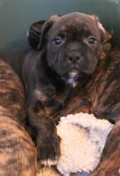 Delilah is an adoptable French Bulldog Dog in Bedford Hills, NY. Delilah, an 8 week old, 8.5 lb. black brindle mix  is a real angel and while she certainly loves her play, she can also frequently be f...