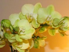 Green Orchid.....Oscar