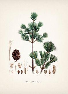 Green Pine Tree Vintage Botanical Print