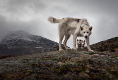 Elaine Heron. Greenland Sled Dogs, 2013. [via Duncan Miller Gallery.]