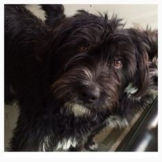 Cuteness alert! ID #A476933 Lucy is just the cutest ! Someone is going to love these two darling , 1 year old small, female Shaggy pups ! Smart, friendly and very funny;) Please contact San Bernardino City Shelter for any more information regarding dog . 909-384-1304