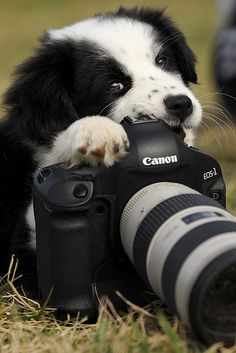 say cheese.... Border Collie Pup