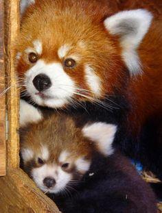 Red panda cubs. Adorable!