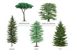 I love the shape of that fir tree