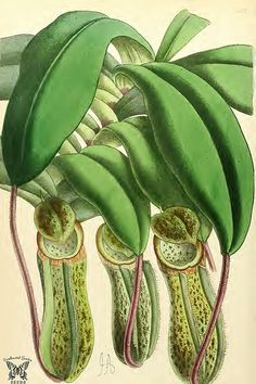Pitcher Plant Notecard Graduation Halloween thinking of You Handmade by RTFX on Etsy Science Illustration, Nature Illustration, Floral Illustrations, Botanical Illustration, Plant Painting, Plant Drawing, Botanical Drawings, Botanical Prints, Pitcher Plant