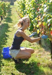 Sarah Colvin is Assistant Vineyard Manager at Greyfriars (Surrey).