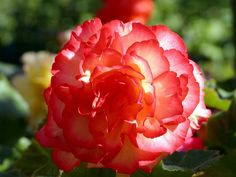 Begonias Pictures with Names | Name: Begonia was firstintroduced in Santo Domingo in 1690, botanist ...