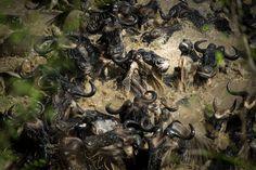 « Les animaux ont été pris dans des courants inconnus et ont dû lutter pour se rendre sur l'autre rive. Une lutte désespérée pour grimper et repartir » – Rivière Mara, Kenya,