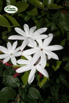 Jasminum kedahense, un gelsomino chiamato Mario Floral, Plants, Flowers, Plant, Flower, Planets