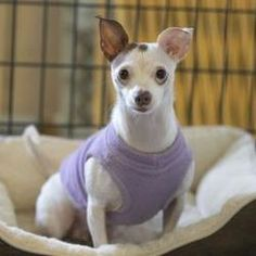Colorado Springs Co Chihuahua Meet Serena A Pet For Adoption Causes 2 The Mill Dogs Chihuahua Pet Adoption Colorado Springs