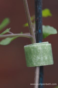 Velcro One-Wrap Plant Ties securing a tomato plant to a cane. Plant Supports, Tomato Plants, Different Plants, Ties, Pumpkin, Buttercup Squash, Neck Ties, Pumpkins, Tie