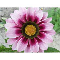 Ассорти газаний  #газания #всаду #природа #nofilter #скоролето #цветы #яркиекраски #весна #flowers #nature #plants #любительприроды #naturelovers #flowerstagram #flowerporn #botanical #natureza #naturelover #nature_shooters #natureaddict #mothernature #colourofnature #inmygarden #flowerslovers #blume #instaflowers #макро #macro #igmacro #blossom http://gelinshop.com/ipost/1519055948445306348/?code=BUUxVY5Bs3s