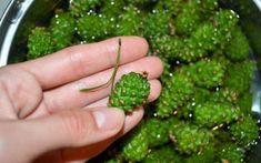 Nazbierajte si na jar mladé borovicové a smrekové šišky, môžete si z nich pripraviť lieky pre celú rodinu | MegaZdravie.sk
