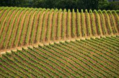Some of our vineyards by Fattoria di Corsignano, www.tenutacorsignano.it