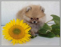 4 Pomeranian Dog  Dogs Puppies Autumn Halloween Sunflower Greeting Notecards/ Envelopes Set. $6.99, via Etsy.