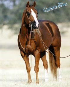 Quarter Horse Stallion Quixote Mac