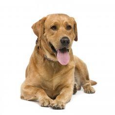Labradors Are Super Clever? - Fluffy Dogs - Fluffy1.com