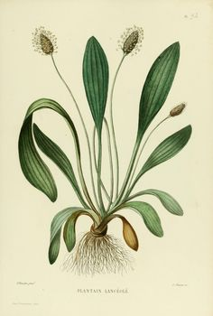 Plantain Lancéolé: good for face!