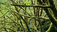 In Humboldt Redwoods State Park, the soaring redwoods aren't the only trees clamoring for your attention. These mossy branches were clustered alongside the road. Photo taken in 2014 by L.A. Times staffer Chris Reynolds.